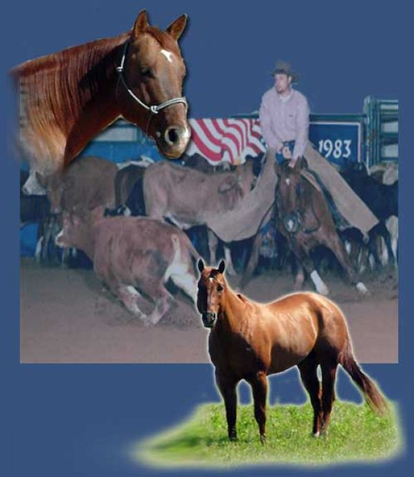 Red Dun Quarter Horse Stallion