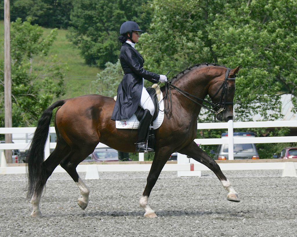 Bay Dutch Warmblood Stallion