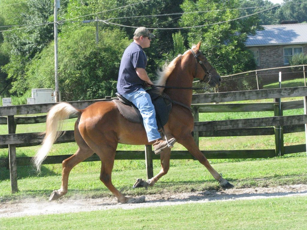 Sorrel Tennessee Walking Gelding