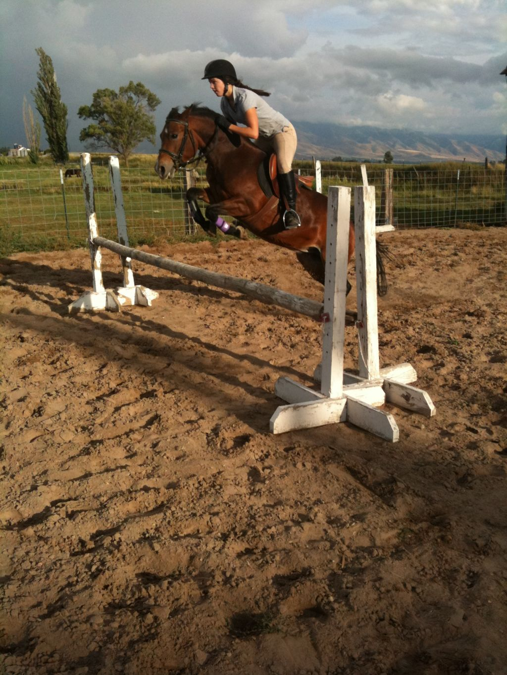 Bay Welsh Pony Mare