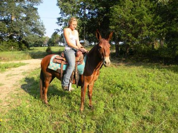 Sorrel Mule Horse for Sale in Missouri
