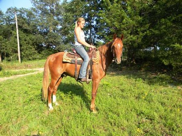 Sorrel Missouri Fox Trotter Gelding
