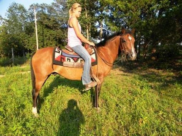 Bay Pony Horse for Sale in Missouri
