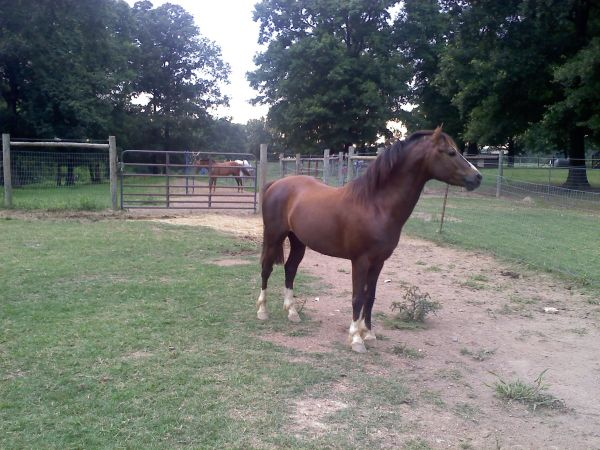 Chestnut Welsh Pony Stallion for Sale in North Carolina