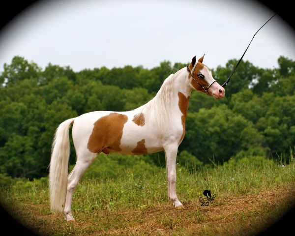 Chestnut Miniature Stallion for Sale in Kentucky