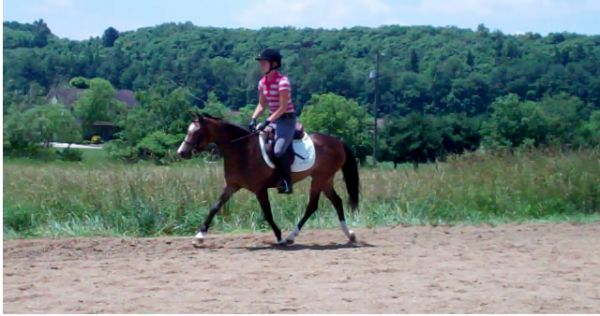 Bay Welsh Pony Horse for Sale in Ohio