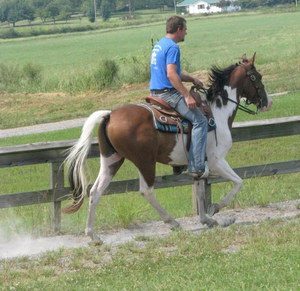 Bay Tennessee Walking Gelding