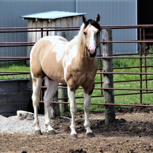 Dunskin Paint Horse for Sale in Iowa