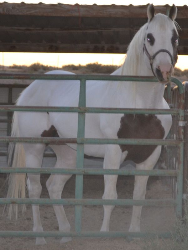 Bay Paint Stallion for Sale in Nevada