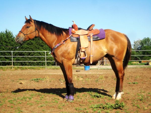 Dun Quarter Horse for Sale in Kansas