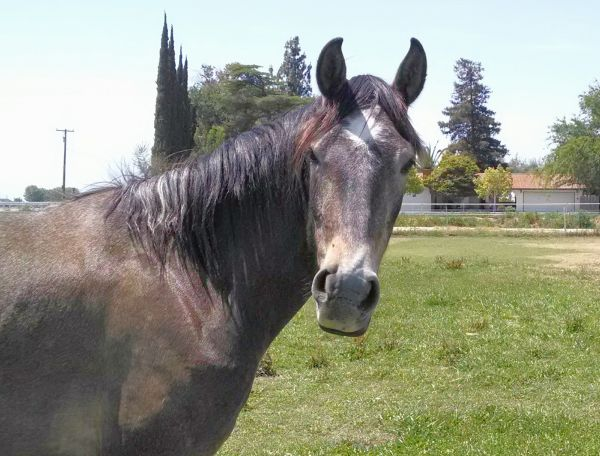 Grey Lusitano Horse for Sale in California