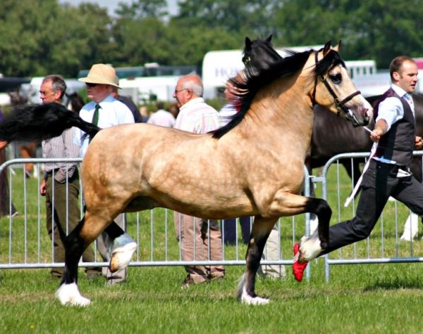Buckskin Welsh Cob Stallion