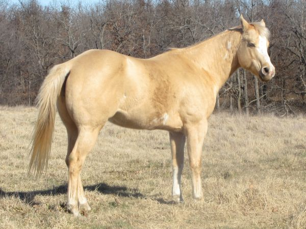 Other Paint Stallion for Sale in Missouri