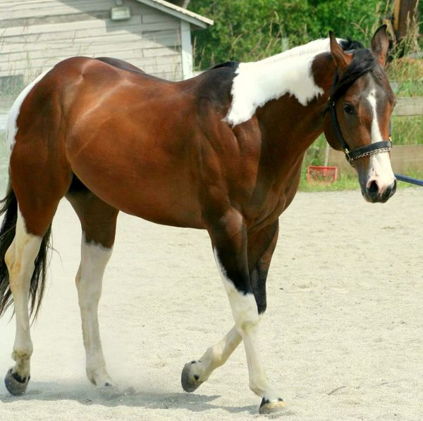 Bay Paint Stallion
