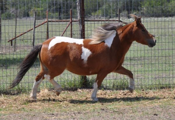 Pinto Miniature Horse for Sale in Florida