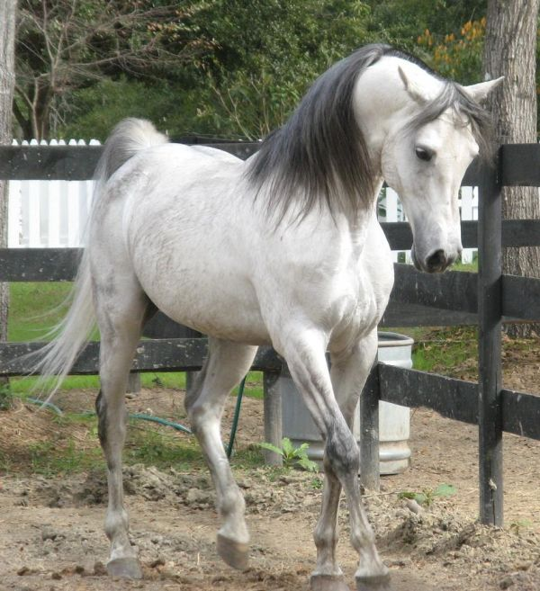 Grey Arabian Horse for Sale in New York