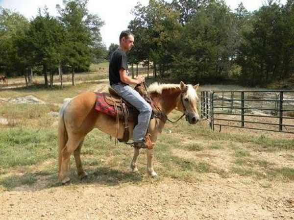 Sorrel Haflinger Horse for Sale in Missouri