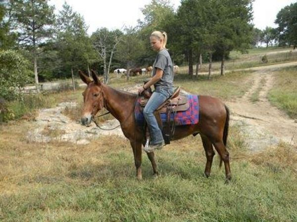 Bay Mule Horse for Sale in Missouri