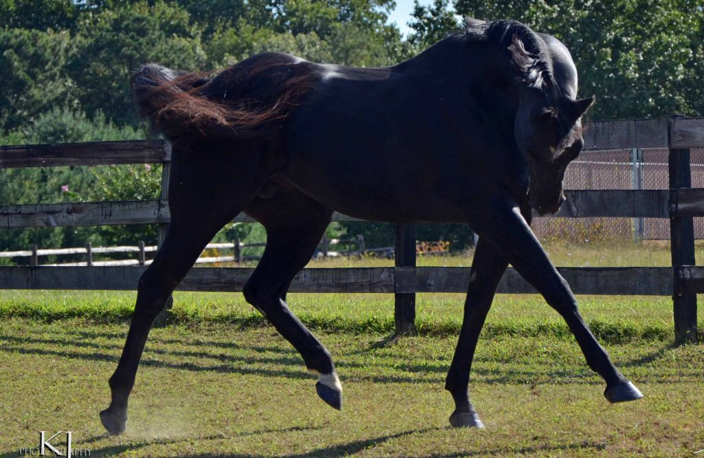 Black Quarter Horse Stallion