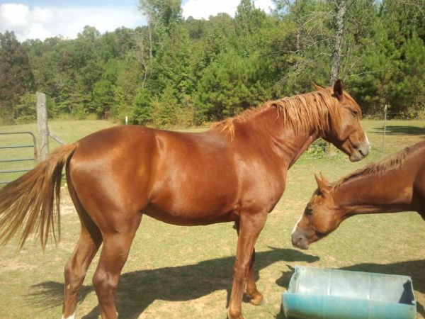 Sorrel Quarter Horse Stallion for Sale in Alabama