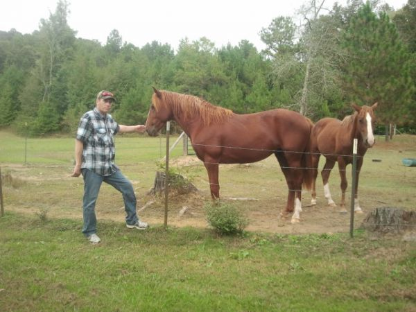 Sorrel Quarter Horse Stallion