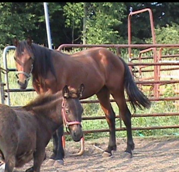 Bay Warmblood Horse for Sale in New York