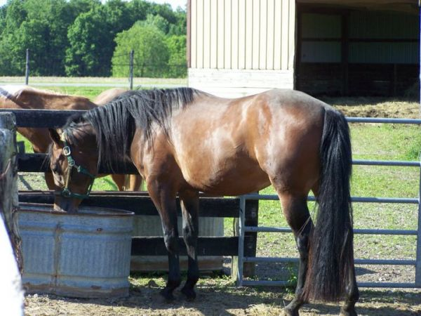 Bay Quarter Horse Stallion for Sale in Michigan