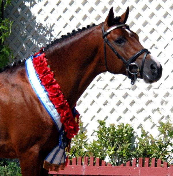 Bay Arabian Stallion for Sale in California