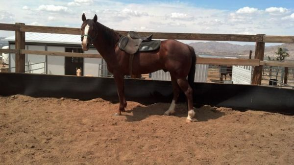 Sorrel Paint Stallion for Sale in California