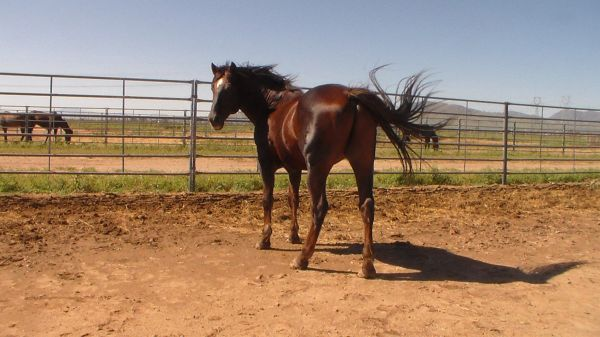 Chestnut Quarter Horse Stallion for Sale in Arizona
