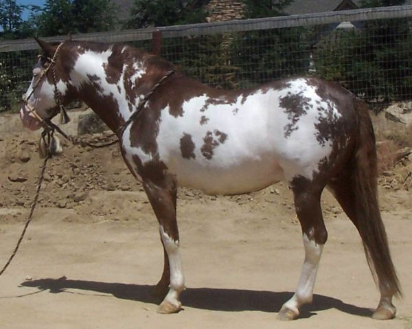 Sorrel Overo Barb Stallion for Sale in California