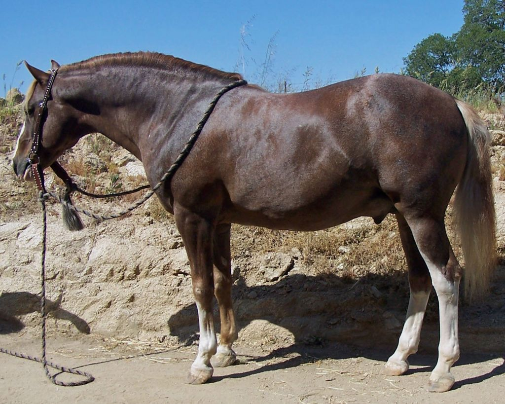 Chestnut Barb Stallion