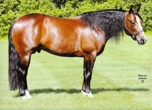 Bay Quarter Horse Stallion for Sale in Alberta