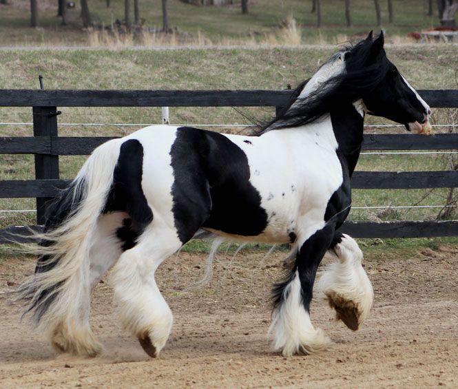 Tobiano Gypsy Vanner Stallion