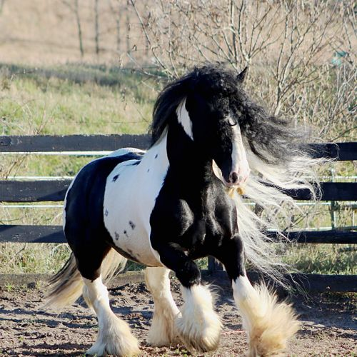 Tobiano Gypsy Vanner Stallion for Sale in Minnesota