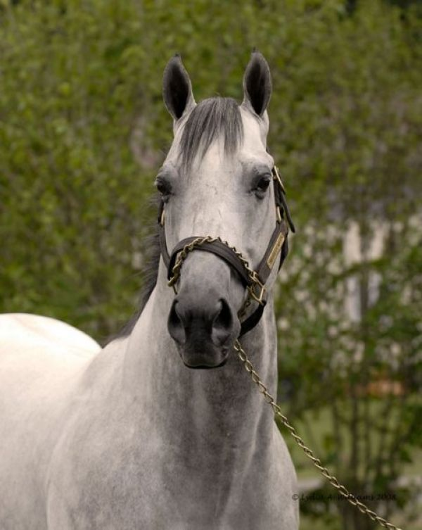 Grey Thoroughbred Stallion