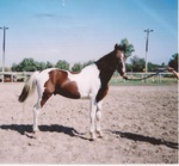 Bay Overo Half Arabian Stallion for Sale in California