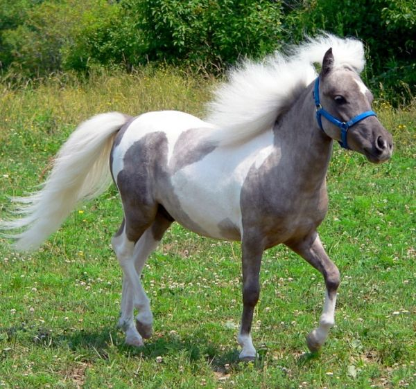 Pinto Miniature Stallion for Sale in Tennessee