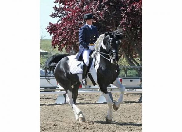 Other Warmblood Stallion for Sale in Utah