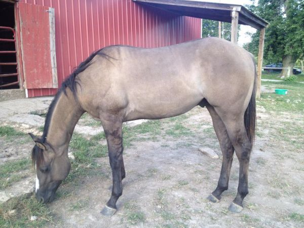 Grulla Paint Horse for Sale in Missouri
