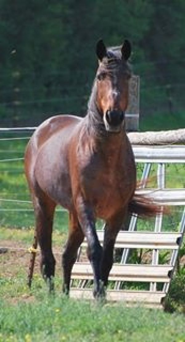 Bay Roan Tennessee Walking Stallion
