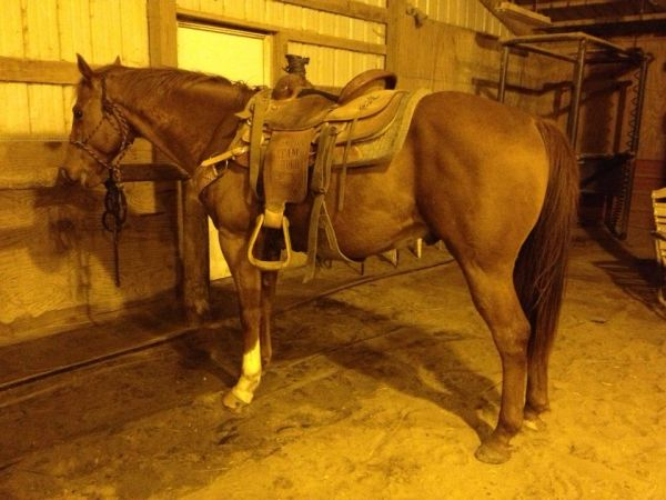 Sorrel Quarter Horse for Sale in Missouri