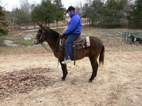 Brown Mule Horse for Sale in Missouri
