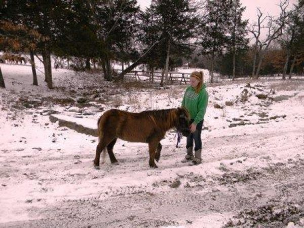 Brown Pony Horse for Sale in Missouri