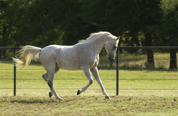 Grey Arabian Stallion for Sale in Washington