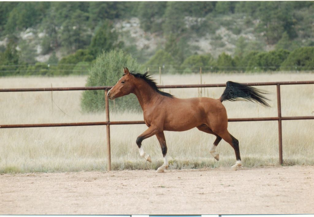 Bay Arabian Stallion