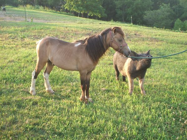 Chocolate Shetland Pony Stallion for Sale in Illinois