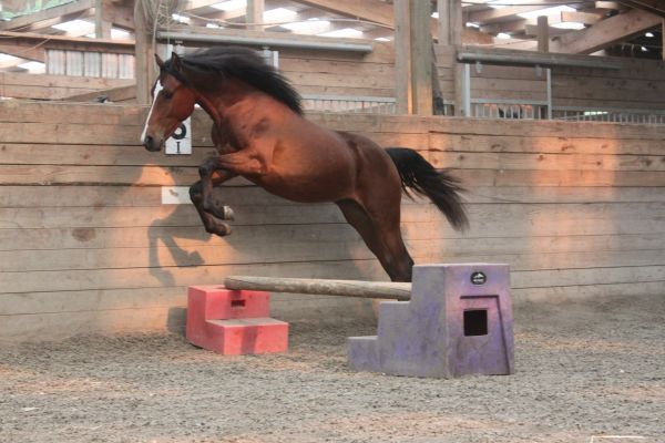 Bay Morgan Horse for Sale in Washington