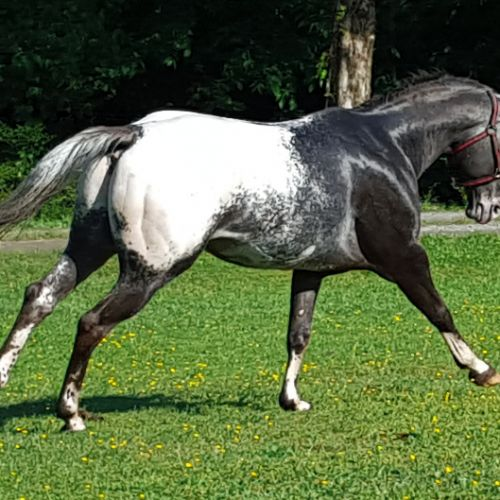 Grulla Appaloosa Stallion for Sale in Virginia