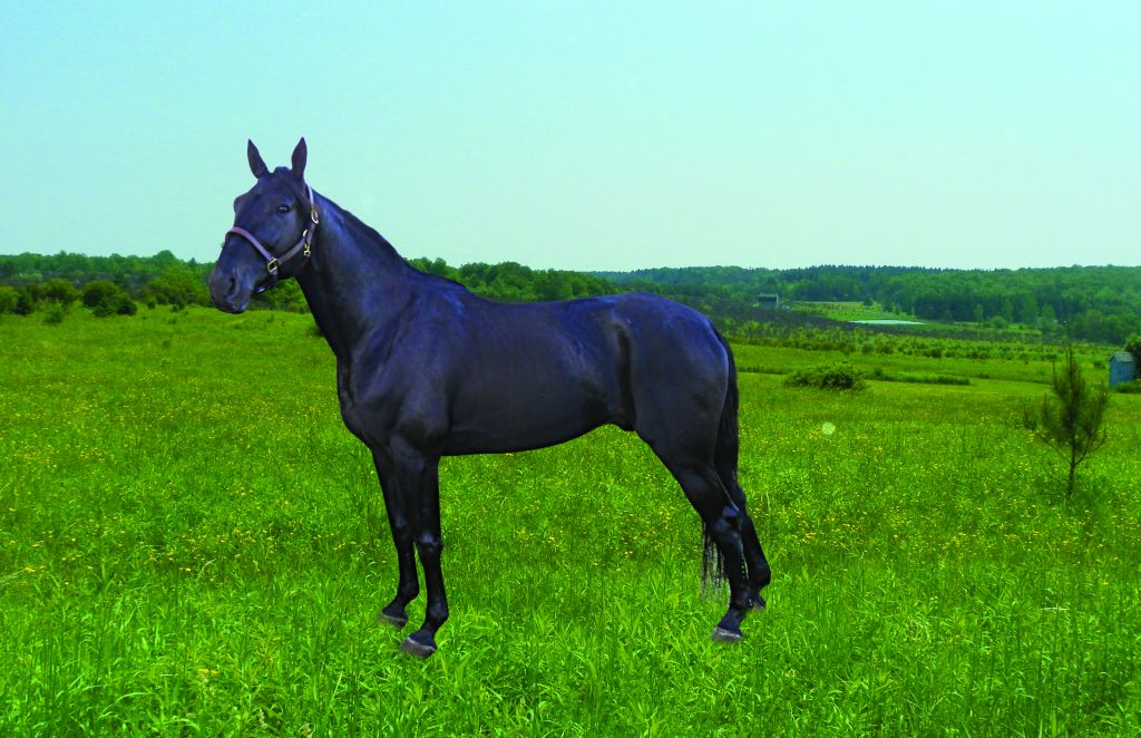 Black Standardbred Stallion